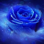 Blue rose desktop wallpaper