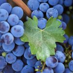 Ripe grape wallpaper