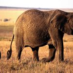 Elephants and mothers walking in Africa have unlimited family.