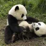 Two cute pandas in play