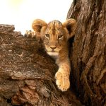 Lion cub on the tree1 wallpaper