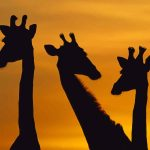 African giraffe animal wallpaper