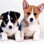 Two cute puppies HD desktop pictures