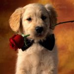 Puppy licking a rose