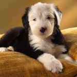 Puppy wallpaper picture on sofa