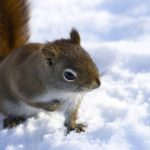 Cute little squirrel desktop wallpaper in the snow