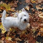 West Highland White Terrier Dog Wallpaper