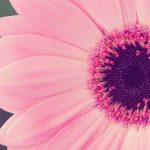 Pink flower desktop wallpaper