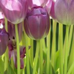 Tulip widescreen wallpaper desktop