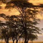 Fever Trees at Sunset, Africa desktop background
