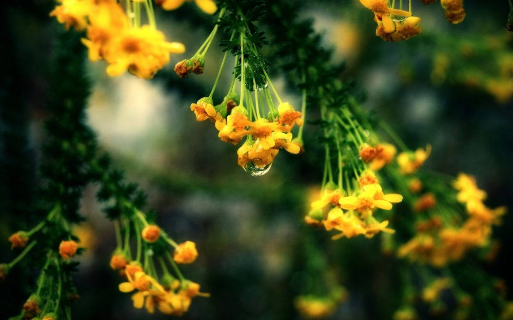 Yellow flowers with a drop desktop background , 8Wallpapers