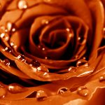 Golden rose with drops wallpaper