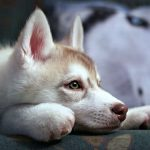 Cute pet husky desktop wallpaper