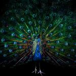 Peacock open desktop wallpaper