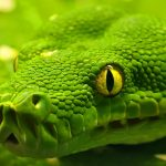Green Snake Macro Shot wallpaper