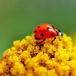 Ladybug on a yellow flower desktop background