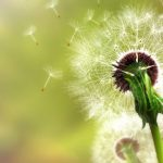 Dandelion beautiful artistic wallpaper