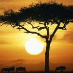 Blue Wildebeests at Sunrise, Masai Mara, Kenya desktop background