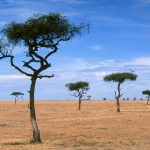 Scattered Acacia Trees, Kenya, Africa desktop background