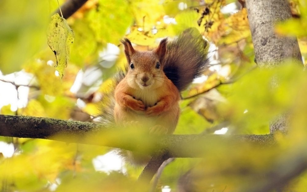 Little squirrel animal wallpaper in the autumn forest