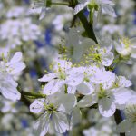 nature white flowers spring wallpaper