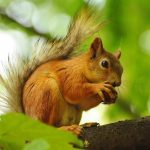 Little squirrel HD animal wallpaper eating pine cones on a branch