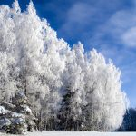 Birch trees snow winter edge Birch snow trees winter the edge wallpaper
