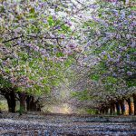 alley spring trees nature wallpaper