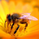 HD bee collecting honey wallpaper pictures