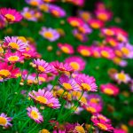 nature blooms pink red hd wallpaper