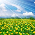 Dandelion field wallpaper