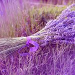 Lavender beautiful desktop wallpaper