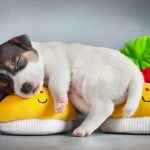 Puppy cute cute wallpaper sleeping on shoes