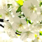 White pear flower desktop wallpaper