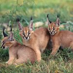 young caracals wallpaper