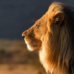 Lion on the African savanna HD wallpaper
