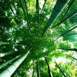 Deep in the bamboo forest wallpaper