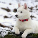 Husky dog in the snow wallpaper picture