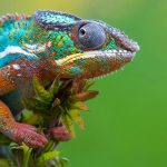Green background chameleon wallpaper