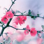 peach blossom hd wallpaper