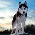 Siberian Husky Dog Desktop Wallpaper