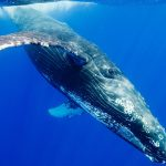 Beautiful humpback whale HD wallpaper image