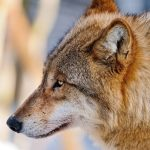 Wild wolf HD wallpaper in the snow