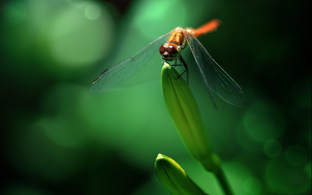 Green dragonfly wallpaper picture