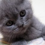 Gray cute cat cute pet wallpaper