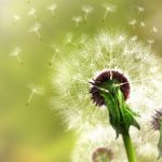 Nice dandelion beautiful artistic wallpaper