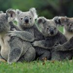 May Day, we organized a group tour, koala, natural widescreen wallpaper