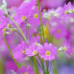 Pink beautiful small fresh flowers desktop background picture