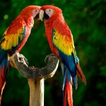 a pair of parrots desktop background