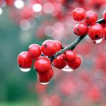 Autumn fruit on the branch after the rain, a small fresh HD wallpaper